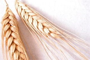 Chicago wheat prices surge 5pc